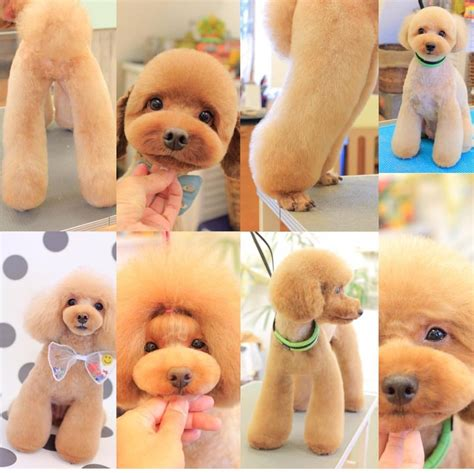 good razor for teddy bear cut facts about teddy bear dogs poodle dog and pet grooming