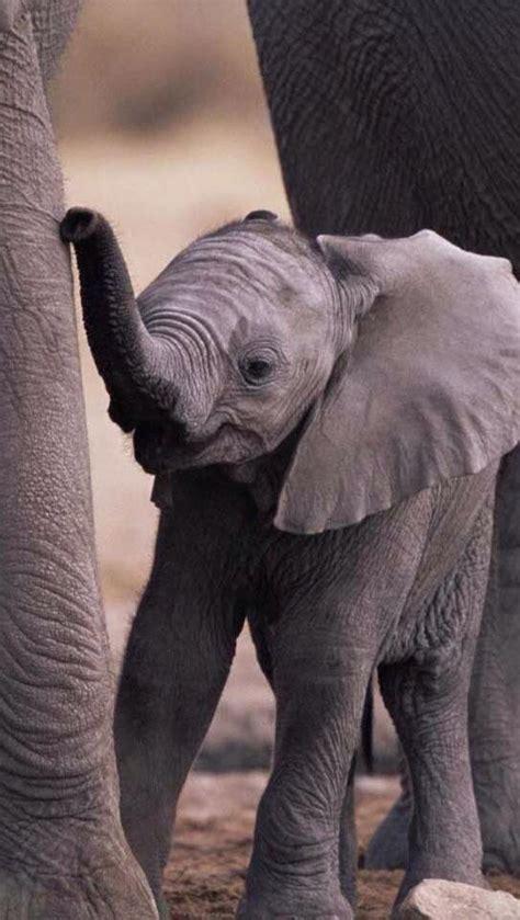 wallpaper iphone elephant baby elephant iphone wallpaper