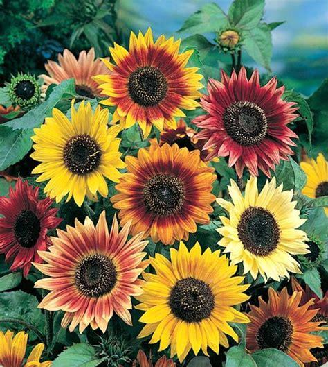 colors of sunflowers sunflower seeds sunflowers grow sunflowers