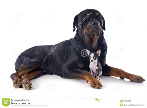 chihuahua rottweiler rottweiler and puppy chihuahua stock photography image 28865582