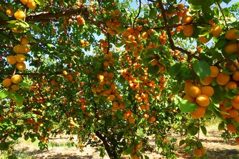 apricot fruit trees time for apricots braman s wanderings