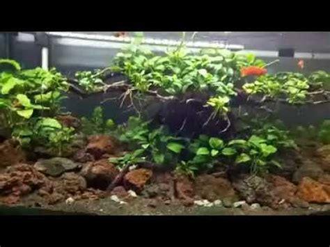 aquascape anubias budidaya tanaman aquascape anubias youtube