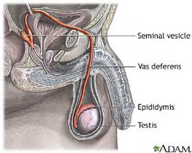 what does the vas deferens do pathway of medlineplus encyclopedia image
