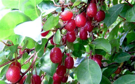 Garten Pflanzen Essbar by Essbare 214 Lweide Pflanze Elaeagnus Multiflora
