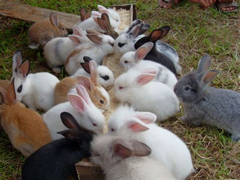 Kelinci Imut Lucu putra ciremai kelinci hewan yang lucu dan imut