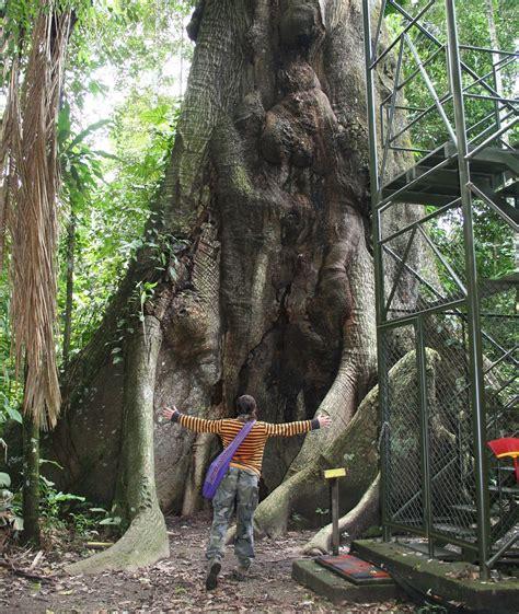 emergent tree kapok tree amazon rainforest tropical