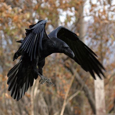 rabe schwarz crow raven kolkrabe bullsh ft oh my god