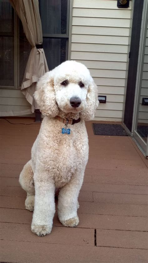 exles of poodle cuts styles pinterest the world s catalog of ideas