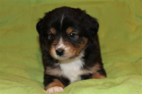 black australian shepherd puppy alangus mini aussies a pack em up and take em along