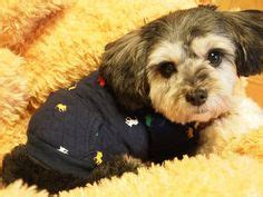 yorkie poodle mix price dion didi are an incredibly adorable pair of yorkie poos terrier poodle