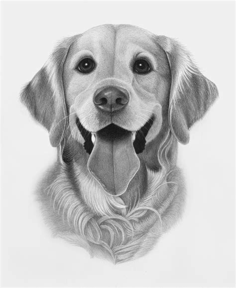 drawing of a golden retriever i sketch pets