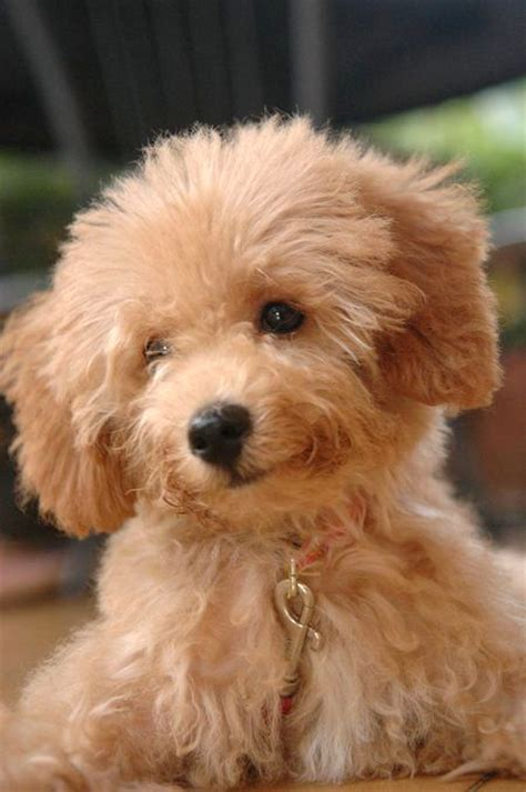 haircutsfordogs poodlemix brown toy poodle mix photo happy dog heaven