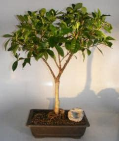 flowering gardenia bonsai tree jasminoides miami supreme