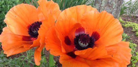 Best Shades Of Orange How To Grow Oriental Poppies In Your Garden Today S