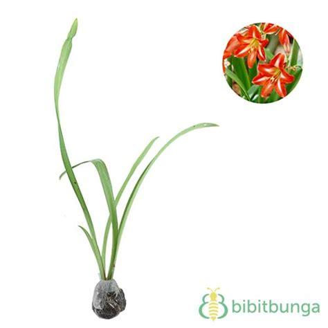 Tanaman Orange Amarylis Belanda tanaman amaryllis orange