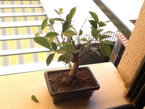 191 por qu 233 se caen las hojas en oto 241 o actualidad medio bonsai ficus retusa se le caen las hojas