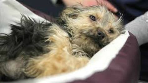 puppy adoption pittsburgh puppy with broken legs abandoned at pittsburgh animal shelter pet rescue report