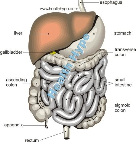 bowels and bowel movements meaning symptoms and