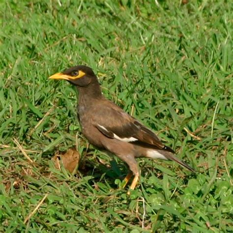 foto burung jalak kumpulan gambar foto binatang hewan flora fauna