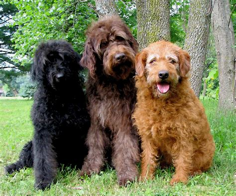 labradoodle puppies for sale labradoodle puppies for sale places to visit