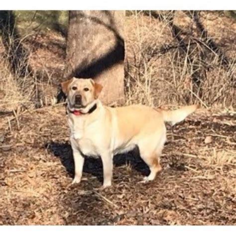 free puppies in missouri labrador retriever lab breeders in missouri freedoglistings