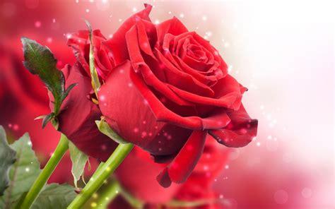 imagenes bellas rojas flores rojas imagen de dos hermosas flores rojas fotos