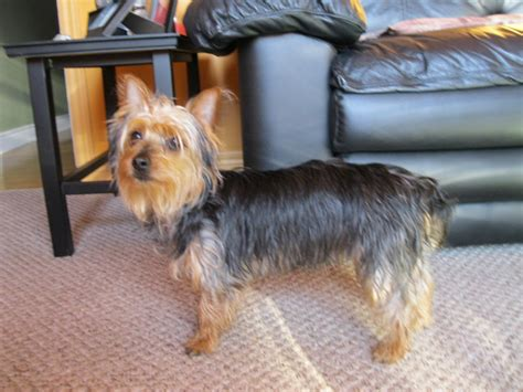 silky terrier and yorkie difference silky terrier vs terrier breeds picture