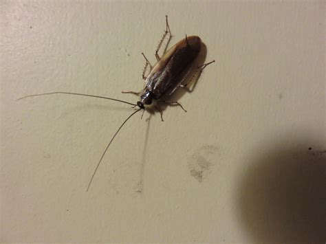 cockroach in house how do i deal with an infestation ask an entomologist