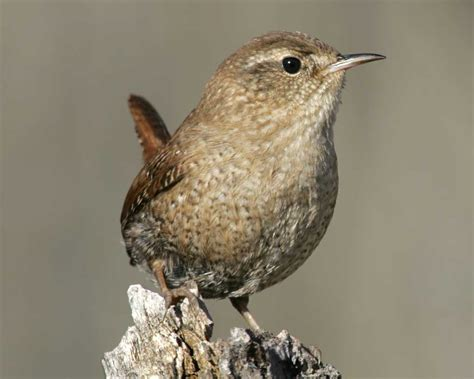 winter wren audubon field guide