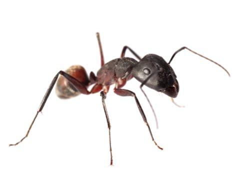 comment se d饕arrasser des fourmis dans une cuisine les fourmis insecticides et raticides