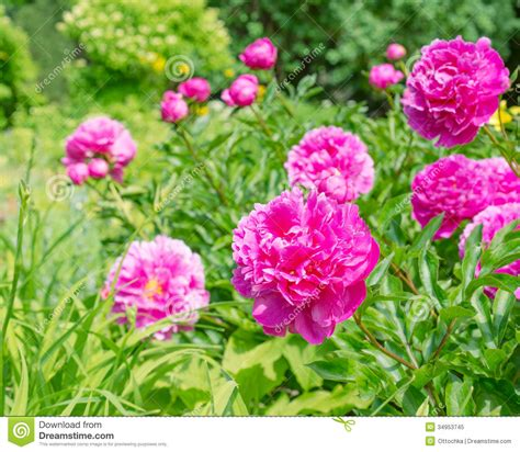 pink peonies nursery pink peony flowers in the garden royalty free stock photo