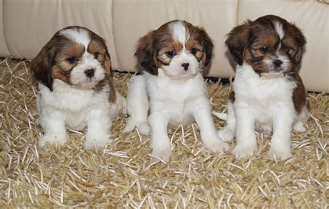 cava tzu puppies for sale cava tzu puppies kidwelly carmarthenshire pets4homes