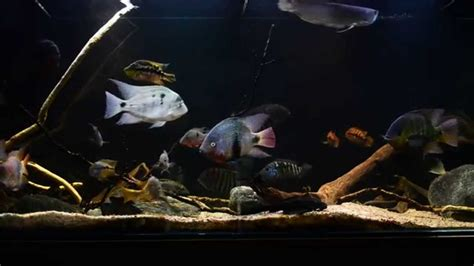 American Aquascapes central american cichlid update 1 06 2015
