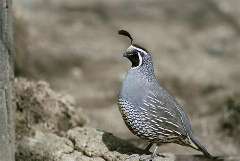 7 quail hd wallpapers backgrounds wallpaper abyss