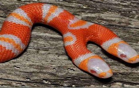 serpenti a due teste ecco il serpente a due teste