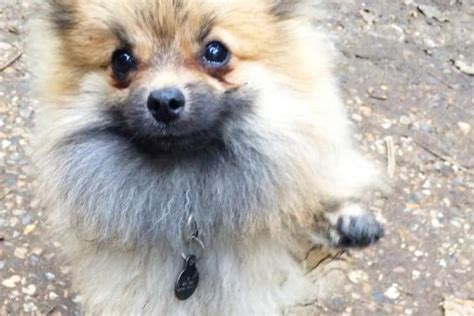 pomeranian attack walker breeds picture