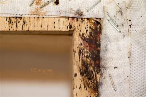 cimici da letto foto insetti letto archivi eurogreen