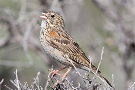 vesper sparrow audubon field guide