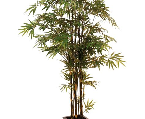 b ume g nstig kaufen 581 bambus g 252 nstig kaufen bambus fargesia murielae g nstig
