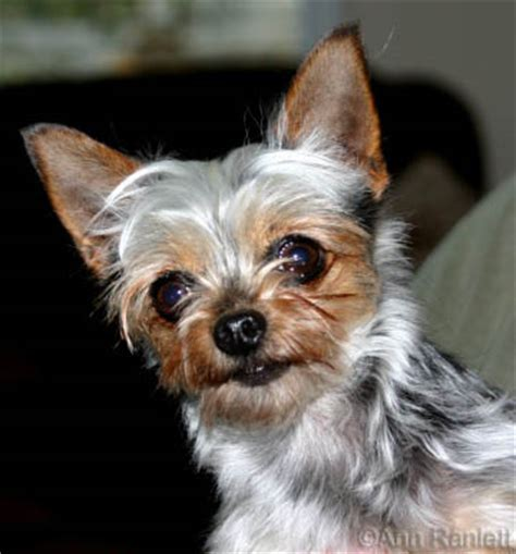 chihuahua poodle yorkie mix half yorkie half chihuahua breeds picture