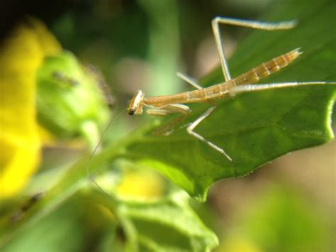 praying mantis for garden pest battling garden pests with praying mantids
