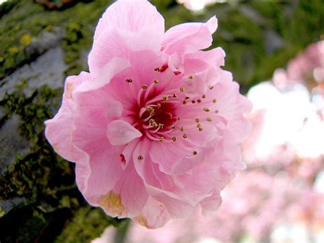 cherry blossom flower pictures meanings