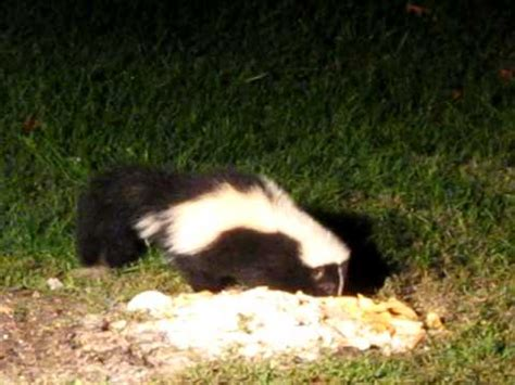 skunk in my backyard skunk in my yard youtube