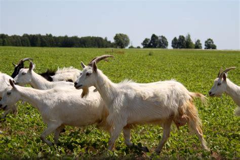 de cabras cabras metro951