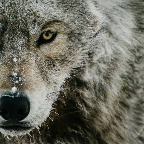 Sle Petition On Threat To 56 Best Wolves Images On Animal Totems Anime Animals And Beautiful