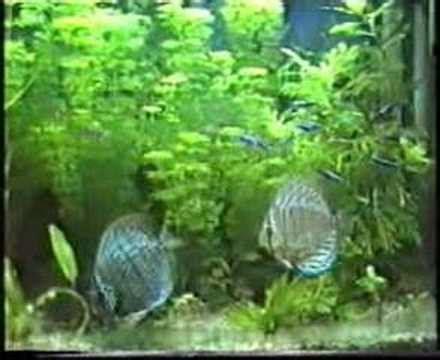 alimento vivo  peces de acuario youtube