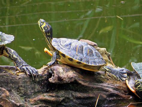 tartarughe acqua dolce alimentazione tartarughe d acqua dolce specie alimentazione e cose da