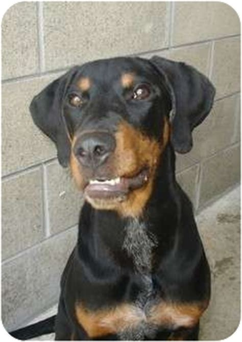 rottweiler coonhound mix rambo adopted puppy 000582 lake odessa mi rottweiler black and coonhound mix