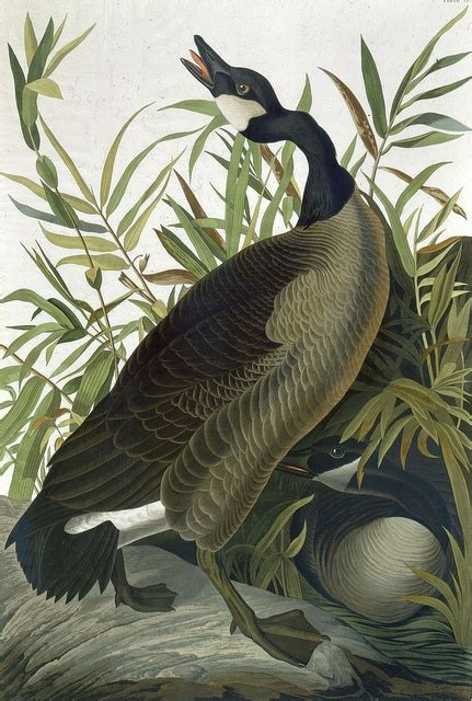 72 best audubon prints images on pinterest audubon