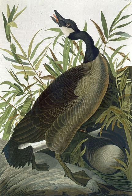 73 best audubon prints images on pinterest audubon